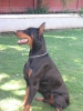 Doberman Pinscher, 4 1/2, Black/Rust