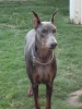 Doberman Pinscher, 2 1/2, Blue/Rust