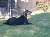 Doberman Pinscher, 1 year, Black and tan