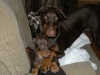 Doberman Pinscher, 7weeks 9 months, red