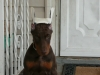 Doberman Pinscher, 3 month old, red and rust