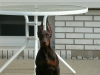Doberman Pinscher, 4 month, red and rust