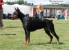 Doberman Pinscher, 4 years, Black and tan