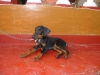 Doberman Pinscher, 2 months, black & tan