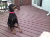 Doberman Pinscher, 5 Months, Black and Tan