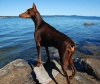 Doberman Pinscher, 5, Red/Rust