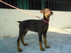 Doberman Pinscher, 11 weeks, fawn