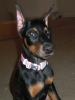 Doberman Pinscher, 12 weeks, Black & Rust