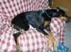 Doberman Pinscher, 6 years old, black and tan