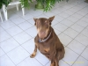 Doberman Pinscher, 7, Red