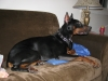 Doberman Pinscher, 20 months, black and tan