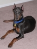 Doberman Pinscher, 7 month, Blue/Rust