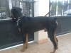 Doberman Pinscher, 10, black