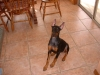 Doberman Pinscher, 4 months, black and rust