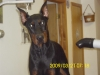 Doberman Pinscher, unknown, brown and black