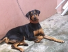Doberman Pinscher, 1 year old, black tan