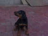 Doberman Pinscher, 2 Months, Black With Tan
