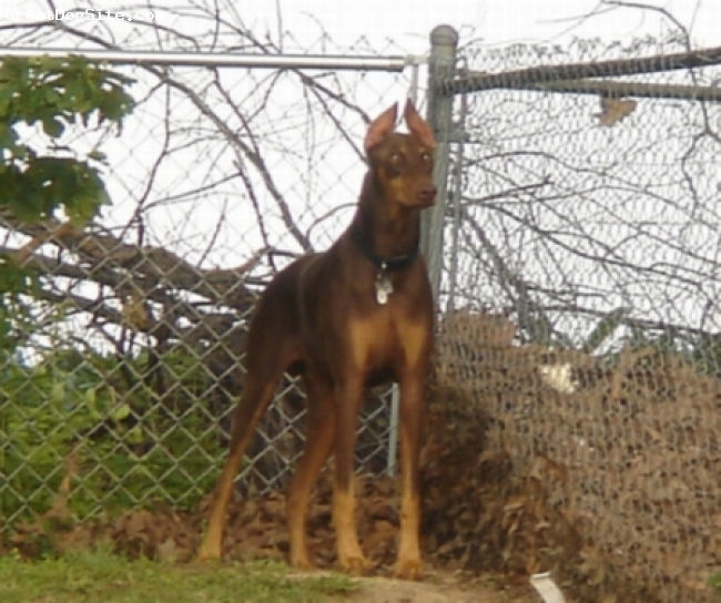 Doberman Pinscher, 2 years, Red & Rust, J.D. keeping watch