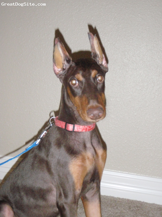 Doberman Pinscher, 4 mos, Red, Ruby posing for the camera.