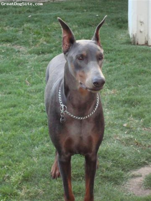 Doberman Pinscher, 2 1/2, Blue/Rust, Gorgeous female with fantastic conformation, out of top German/International bloodlines. Ideal temperament--protective yet great with kids.