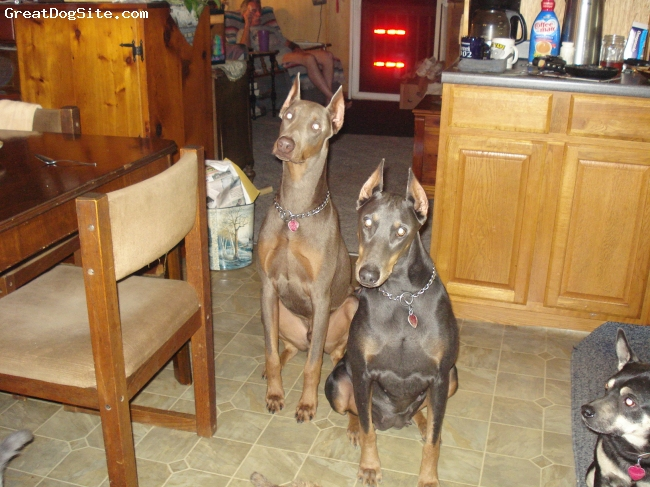 Doberman Pinscher, 4/ 11 months, Blue/ Fawn, Sweetheart/ Toddler
