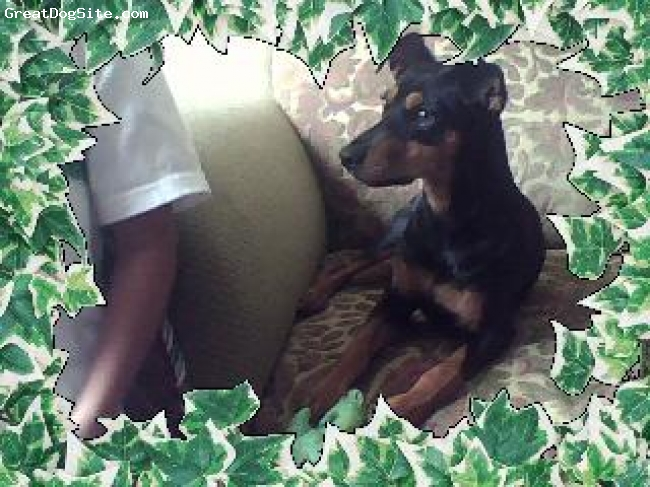 Doberman Pinscher, 7 MONTHS, BLACK N BROWN, AWWW WE TIRED SOMETHING NEW