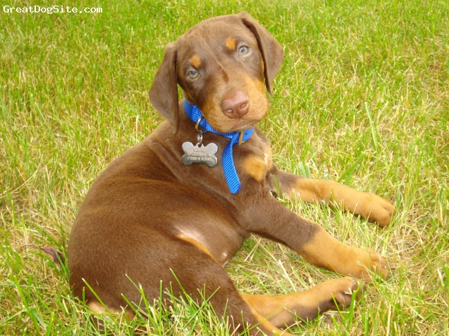 Doberman Pinscher, 7 weeks, Red and Rust, Hanging out in the yard