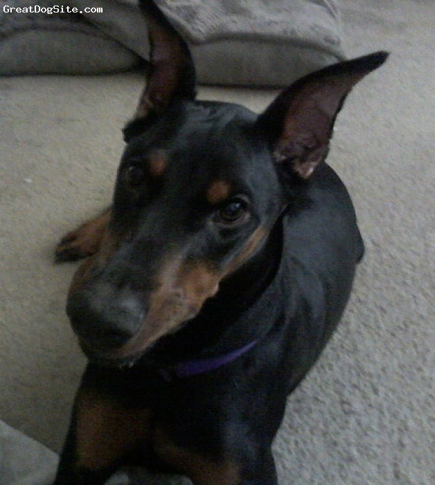 Doberman Pinscher, 7 months, Black & Rust, Updated photo of our 2nd daughter & the brattier of the 2... She is so gorgeous.