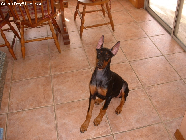 Doberman Pinscher, 4 months, black and rust, My best friend,the little one I love with her new ears at 4 months old