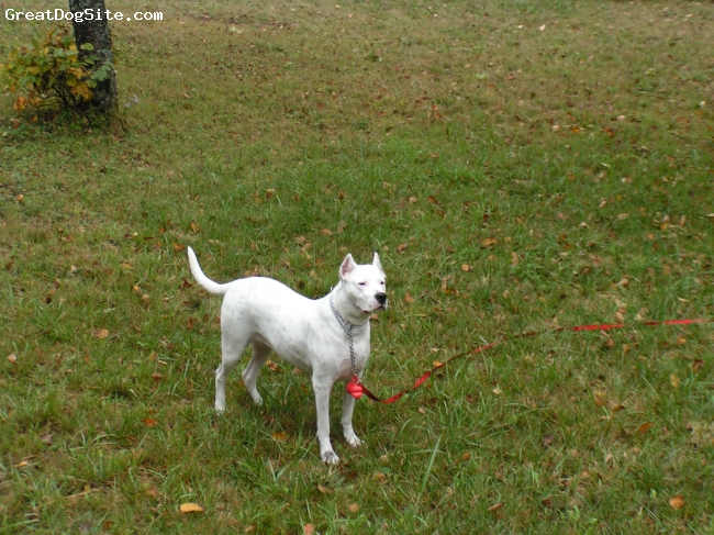 Dogo Argentino, 4, white, Oxanne was adopted 2 years ago at SPCA Montreal.Today she is a beautiful,happy,healthy Dogo always ready to learn and please. Despite her looks she is the most loving dog.