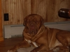 Dogue de Bordeaux, 2, Red