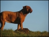 Dogue de Bordeaux, 2 Years, red