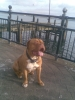 Dogue de Bordeaux, 16 months, red