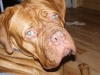 Dogue de Bordeaux, 21 months, red
