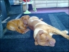 Dogue de Bordeaux, 17mths and 7mths, red