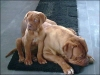 Dogue de Bordeaux, 14mths and 5mths, red