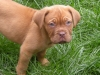 Dogue de Bordeaux, 8 weeks, Sandy