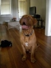 Dogue de Bordeaux, 9 months, red