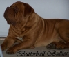 Dogue de Bordeaux, 1, Red