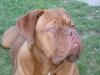 Dogue de Bordeaux, 7 months, red
