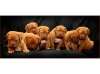 Dogue de Bordeaux, 8 week, red