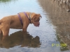 Dogue de Bordeaux, 5, Red