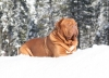 Dogue de Bordeaux, 6 weeks, Red