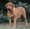 Dogue de Bordeaux, 4 our, fawn & red mask
