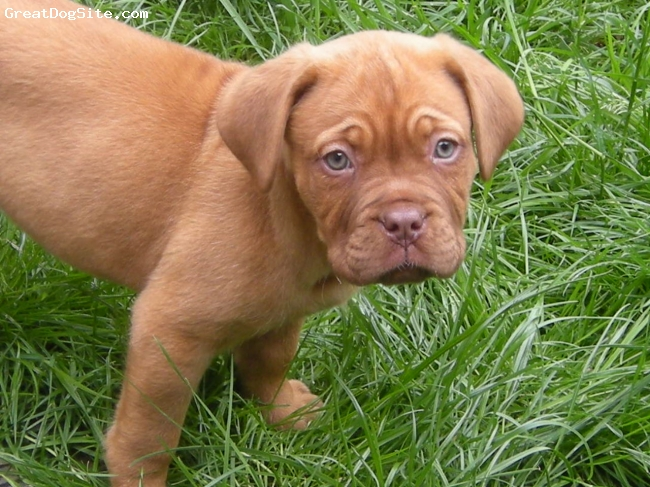 Dogue de Bordeaux, 8 weeks, Sandy, Our little girl, we love her!!!