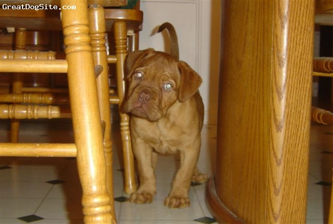 Dogue de Bordeaux, 9 weeks, red, came from westlakes kennel 