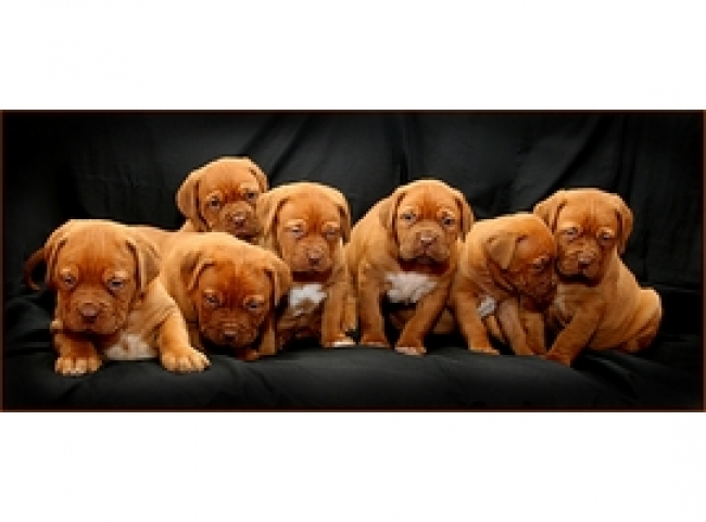 Dogue de Bordeaux, 8 week, red, jaggdebord pups