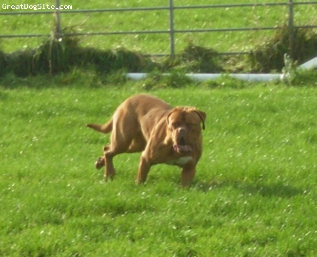 Dogue de Bordeaux, 11months, rusty red, running round local race track, she loves it