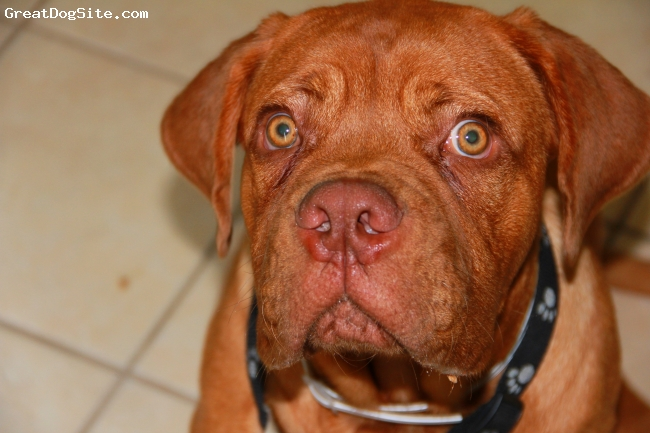 Dogue de Bordeaux, 6 months, Red, My French Mastiff Yogi Bear at 6 months :-)
