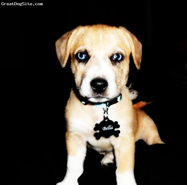 Dorgi, 5months, Red & White, Cardigan Corgi / Dappled Dachshund mix  with two blue eyes